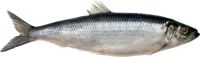 Picture of Herring with Guts Salted, 1 piece